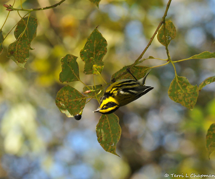 A male Townsend's Warbler, hanging upside down, as he searches for insects in a Camphor Tree
