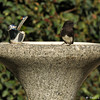 A Black Phoebe perched on a drinking fountain at Descanso Gardens