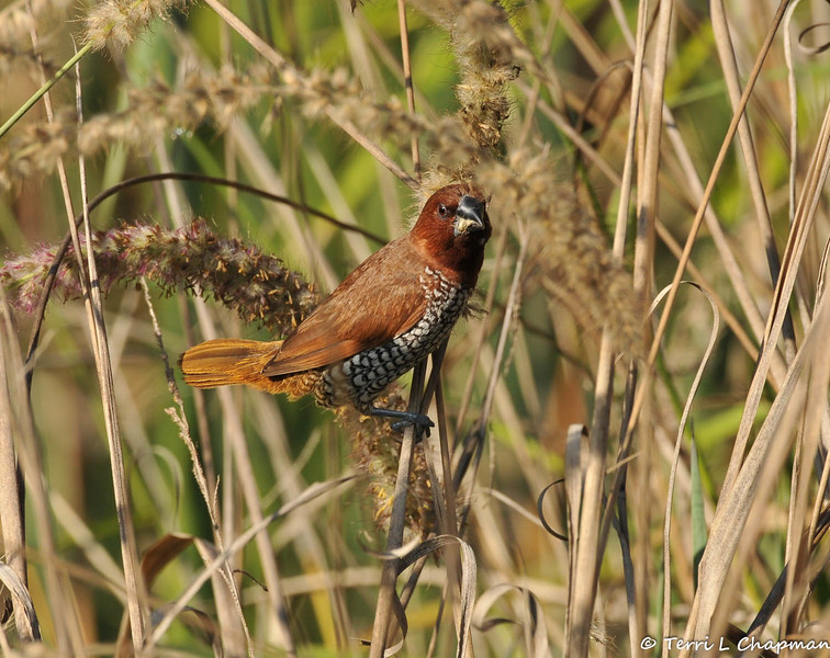 """An adult Nutmeg Mannikin (also known as a """"spice bird"""") eating seeds from native grass growing at the LA Arboretum."""