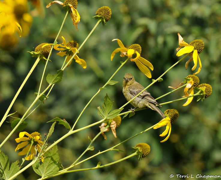 A female Lesser Goldfinch perched on the stem of a coneflower plant
