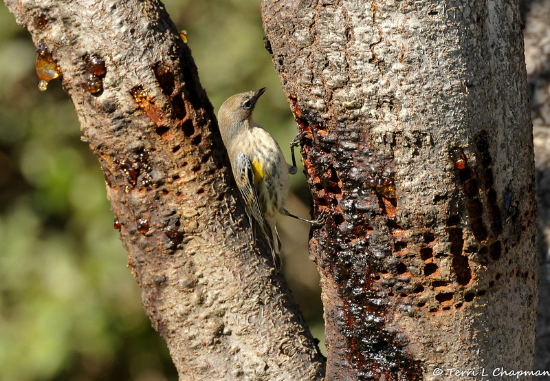 A Yellow-rumped Warbler drinking sap from holes drilled in the tree trunk, by a Red-breasted Sapsucker.