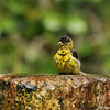 A male Lesser Goldfinch taking a pause from his bird bath