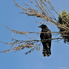 An American Crow perched on a dead limb hanging from a Cypress tree