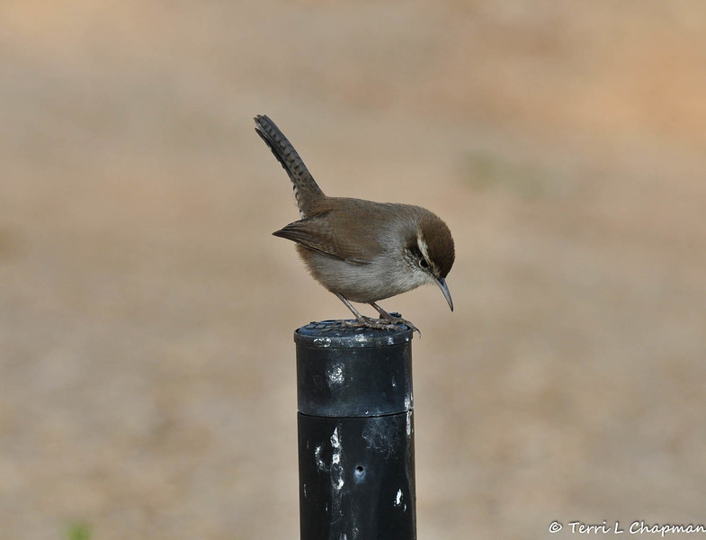 A Bewick's Wren perched on top of a sprinkler head