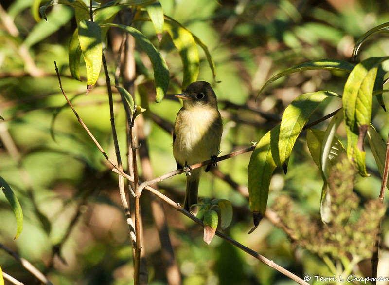 A Pacific-slope Flycatcher
