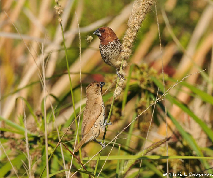 "Nutmeg Mannikins (also known as ""spice birds"") eating seeds from native grass growing at the LA Arboretum."