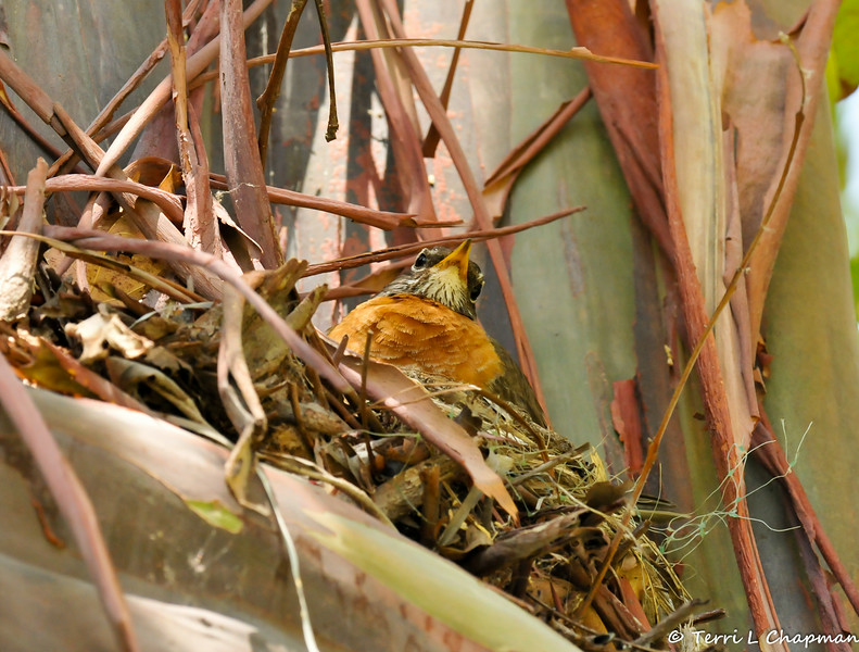 An American Robin sitting on her nest