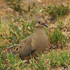 A Mourning Dove resting in my front yard
