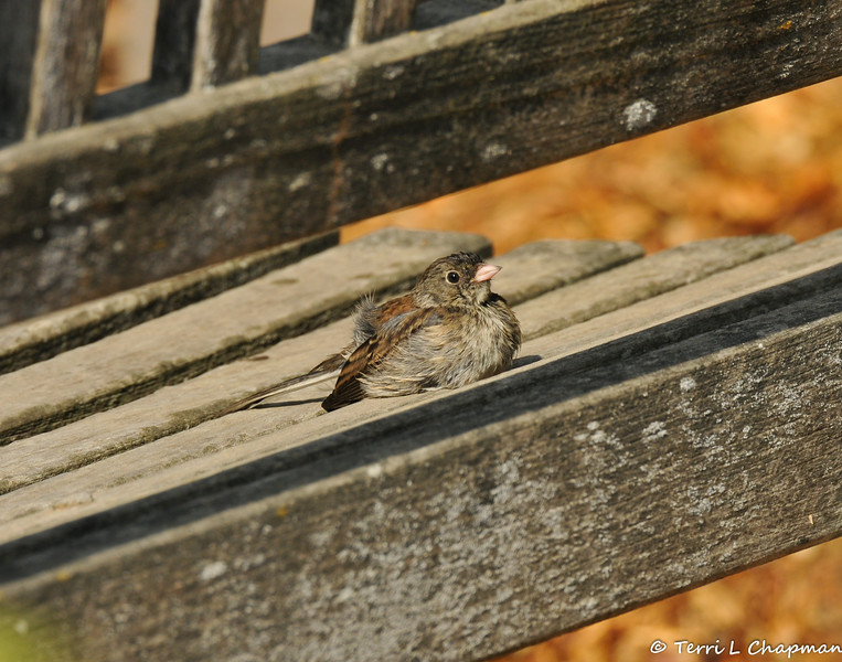 A young Dark-eyed Junco sunning itself on a bench after taking a bath in the near-by sprinkers