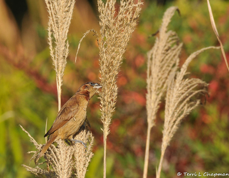 "A Nutmeg Mannikin (also known as a ""spice bird"") eating seeds from native grass growing at the LA Arboretum."