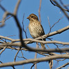 A female Purple Finch