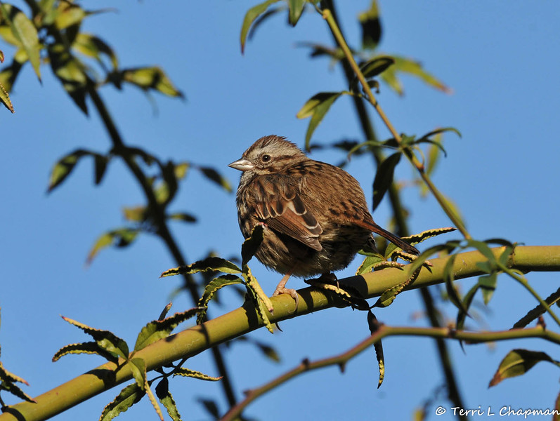 A Song Sparrow perched on a rose bush.