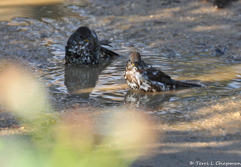 Two Fox Sparrows bathing in a mud puddle