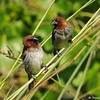 "Two adult Nutmeg Mannikins (also known as ""spice birds"") perched on native grasses growing at the LA Arboretum."