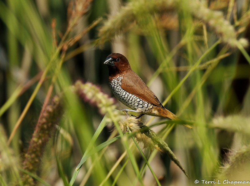 """An adult Nutmeg Mannikin (also known as a """"spice bird"""") perched on native grasses growing at the LA Arboretum."""