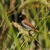 "An adult Nutmeg Mannikin (also known as a ""spice bird"") perched on native grasses growing at the LA Arboretum."