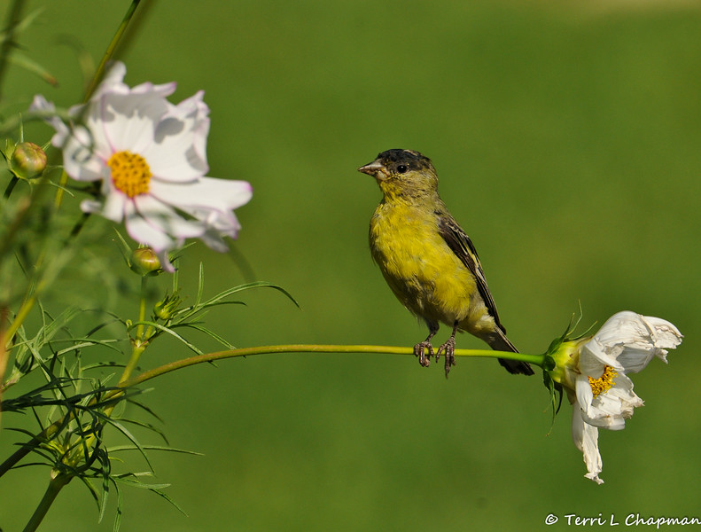 A male Lesser Goldfinch perched on the stem of a Cosmos flower.