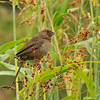 A California Towhee eating seeds from the plant it is perched on