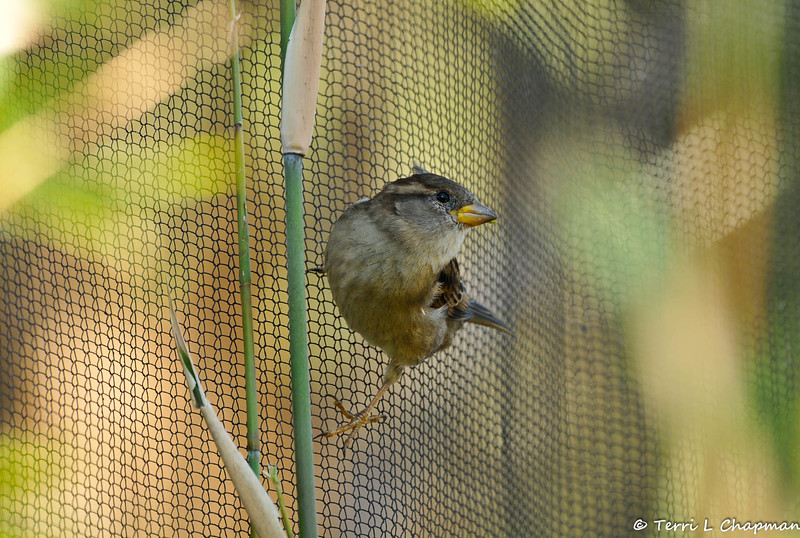 A female House Sparrow hanging from the meshing on a bird enclosure at the Santa Barbara zoo.