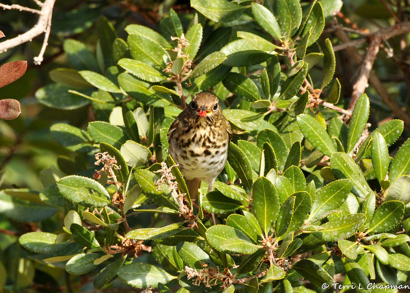A Hermit Thrush eating a berry