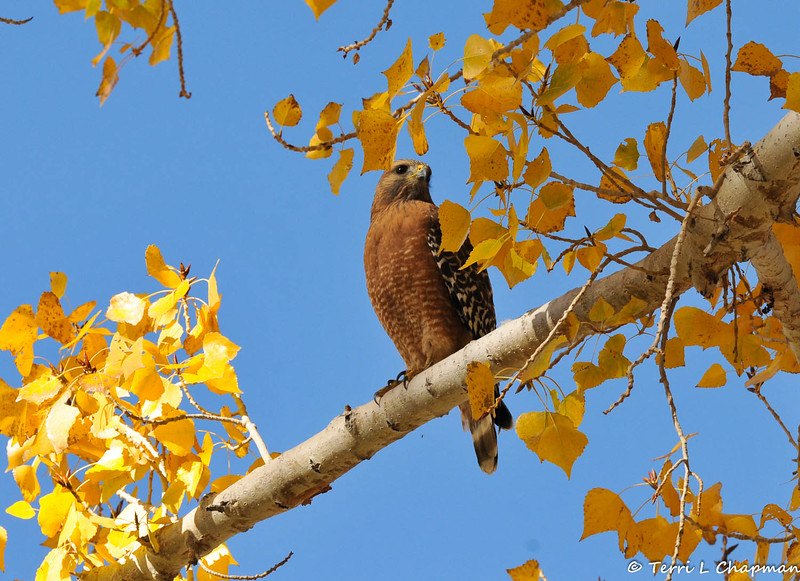 A Red-shouldered Hawk perched in a Cottonwood tree. This hawk was photographed in Valyermo, CA on November 26, 2014.