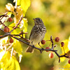 A Hermit Thrush perched in a fruit tree