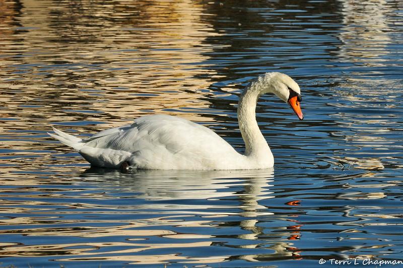 A Mute Swan swimming in a pond in Glendora, CA.