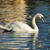 A Mute Swan swimming in a pond in Glendora, CA.