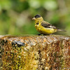 A male Lesser Goldfinch getting ready to take a bath in a fountain