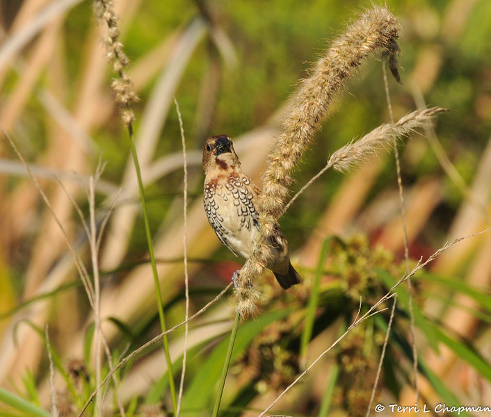 """A Nutmeg Mannikin (also known as a """"spice bird"""") perched on native grass growing at the LA Arboretum."""