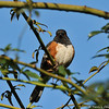 A Spotted Towhee perched on a rose bush