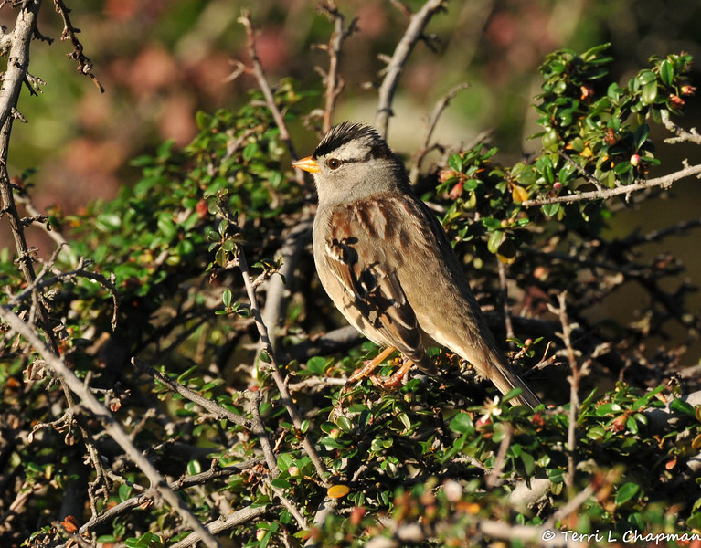 A White-crowned Sparrow perched in a Japanese Barberry bush