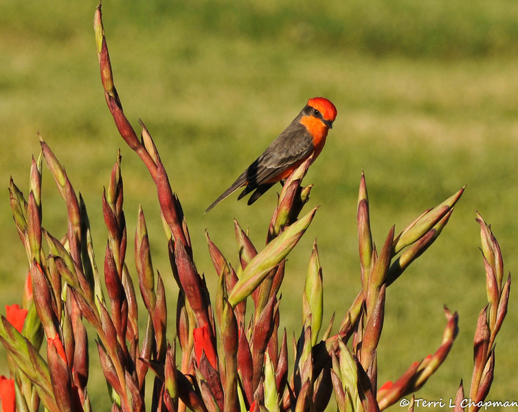 A male Vermilion Flycatcher photographed in Glendora, CA on November 28, 2014.