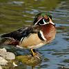 A male Wood Duck