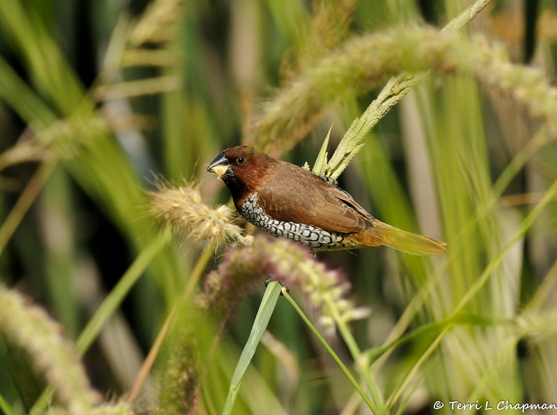 """An adult Nutmeg Mannikin (also known as a """"spice bird"""") eating seeds from native grasses growing at the LA Arboretum."""