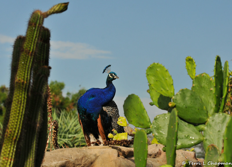 A male Indian Peacock, amongst the cactus, at the LA Arboretum.