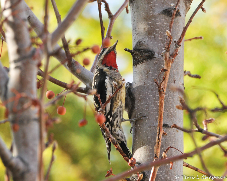 A  Red-naped Sapsucker photographed in Valyermo, CA