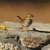 A Lincoln's Sparrow photographed in Valyermo, CA