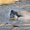 A Fox Sparrow bathing in a mud puddle