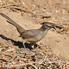 A California Thrasher