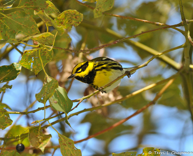A male Townsend's Warbler searching for insects in a Camphor Tree