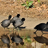 Four American Coots scramble towards safety after one of the coots had just escaped the death grip of a Red-tailed Hawk.