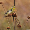 A female Lesser Goldfinch eating the seeds from these dried up flowers