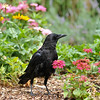 An American Crow walking amongst the Zinnia flowers at Descanso Gardens