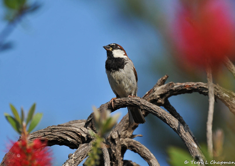 A male Old World Sparrow perched in my Bottle Brush tree. I know that allot of people find these sparrows to be a pest, but I think the males are quite beautiful. Each year the sparrows raise their young in this Bottle Brush tree.