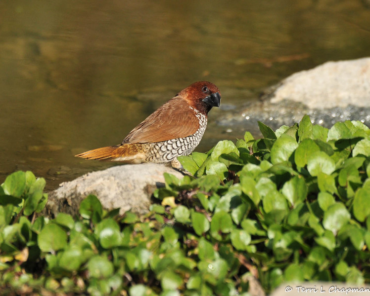 The Nutmeg Mannikin is also known as the Scaly-breasted Munia or Spice Finch.  This sparrow-sized estrildid finch is native to tropical Asia, but has been introduced into many other parts of the world and feral populations have established in Puerto Rico as well as parts of Australia and the United States. This male Nutmeg Mannikin was photographed at the LA Arboretum.