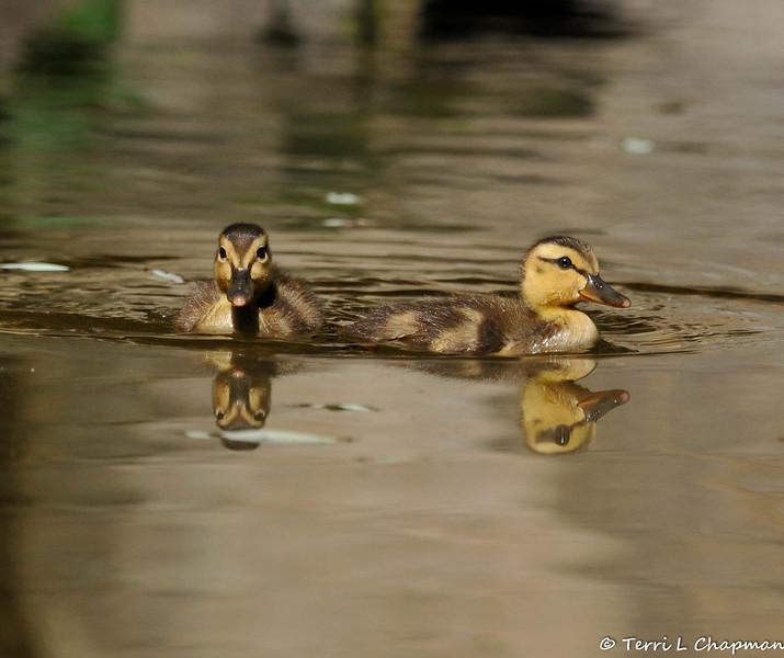 Two Mallard Ducklings