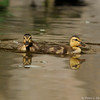 Two Mallard Ducklings