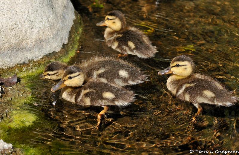 Four Mallard Ducklings feeding on algae in a pond
