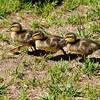 Three Mallard Ducklings walking on a lawn on their way to a pond